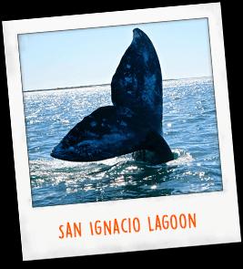 San Ignacio Lagoon Mexico